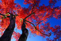 Silhouette Red maple tree on blue sky Stock Images