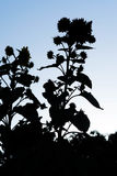Silhouette of a Red Sunflower Against California Sky Stock Images