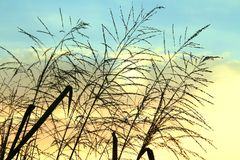 Silhouette of a reed flowers on beautiful cloudy sky background royalty free stock photos