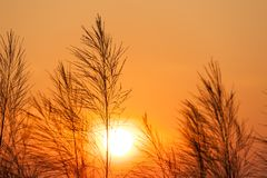 Silhouette of reeds grass,on the background of the sunset. Thailand Royalty Free Stock Images