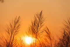 Silhouette of reeds grass,on the background of the sunset. Thailand Royalty Free Stock Photos