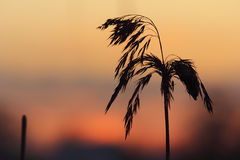Silhouette of reeds at sunset Stock Images