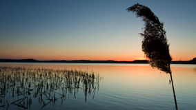 Silhouette of Reeds at Sunset in Lake Royalty Free Stock Image