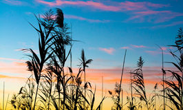 Silhouette of reeds at sunset. With multicolored lights Stock Photo