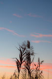 Silhouette of reeds at sunset. With multicolored lights Royalty Free Stock Image