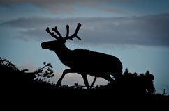 Silhouette of a reindeer Stock Photo