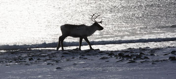 Silhouette of reindeer close to the sea Stock Image