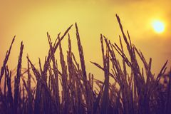 Silhouette of a rice. Silhouette of rice plant on the sun Stock Photo