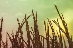 Silhouette of a rice. Silhouette of rice plant on sun Royalty Free Stock Images