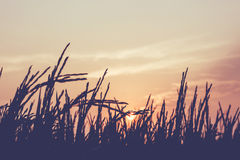 Silhouette rice. Silhouette of rice plant on sun Royalty Free Stock Images