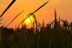 Silhouette rice spike in the rice field with sunset Royalty Free Stock Photography