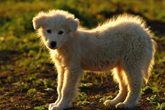 Silhouette of romanian shepherd dog Royalty Free Stock Photos