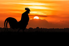 Silhouette of Roosters crow on the lawn. On orange sunrise background Stock Photography