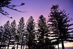 Silhouette of row of pine trees. Silhouette of a row of pine trees against evening purple sky Stock Photos
