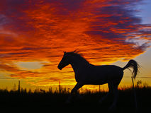 silhouette of a running horse on a background of orange clouds in the evening Stock Images