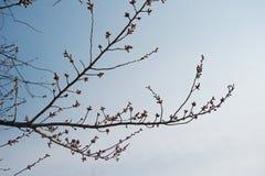 Silhouette sakura flower tree in spring in blue sky Royalty Free Stock Image