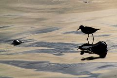 Silhouette of a sanderling Calidris alba small wading birds searching for food at the waters edge in Agadir, Morocco, Africa. Silhouette of a sanderling Calidris royalty free stock photography