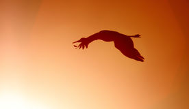 Silhouette of a Sandhill crane flying near the sun Stock Images