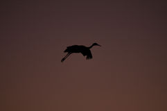 Silhouette of sandhill crane at sunset Royalty Free Stock Images