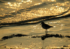Silhouette of Sandpiper during sunrise Stock Photography