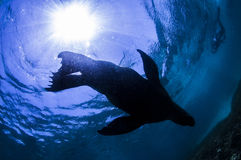 Silhouette of sea lion Royalty Free Stock Photos