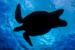 Silhouette of Sea Turtle Taken From Underneath Towards Ocean Surface. Photo of sea turtle taken from underneath as turtle swims, creating a silhouette against stock photos