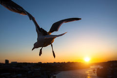 Silhouette of Seagull close-up over the river Douro during sunset, Porto Royalty Free Stock Image
