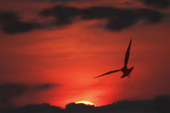 Silhouette of Seagull in Flight at sunset Stock Photos