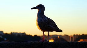 Silhouette of a seagull at sunset royalty free stock images