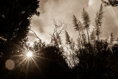 Silhouette sepia tone image lens flare through trees. Bush and pampas stock photography