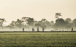 Silhouette of several people walking in the middle of vast rice field. They are farmers who started to work. This picture was taken at sunrise Royalty Free Stock Photo