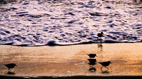 Silhouette of Shoreline Birds Royalty Free Stock Image