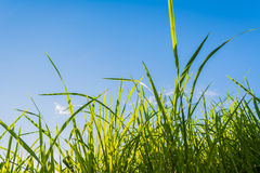silhouette shot image of Grass and sky in shiny day. Stock Image