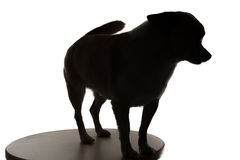 Silhouette of a small dog chihuahua Stock Images