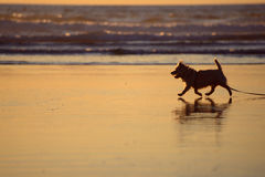Silhouette of a small dog strolling on the beach at sunset Stock Images