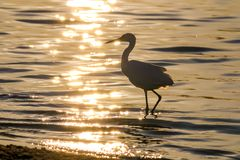 The Silhouette of the Snowy Egret at the Malibu Lagoon Royalty Free Stock Photo