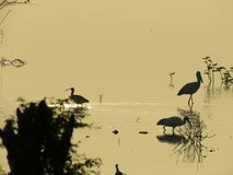 Silhouette of some birds captured in western India. Silhouette of some birds captured in Bhigwan in western India against the rising sun. The long beaks help Stock Photography