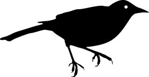 Silhouette of Song Thrush. Silhouette of small bird (Song Thrush Royalty Free Stock Photos