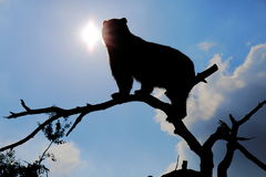 Silhouette of Spectacled Bear Stock Photo
