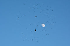 Silhouette of spider sitting in web full of flies on blue sky with moon. Silhouette of a spider sitting in it`s web full of trapped flies on cleqr blue sky Stock Photos