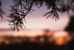 Silhouette of spruce branches against the sky, Royalty Free Stock Photos