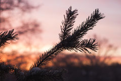 Silhouette of spruce branches against the sky, Stock Image