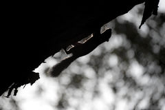 Silhouette of a squirrel on a tree. Royalty Free Stock Images