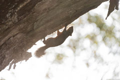 Silhouette of a squirrel on a tree. Stock Photos