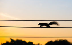 Silhouette squirrel walking on the electric wire Stock Image