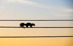 Silhouette squirrel walking on the electric wire Stock Photos