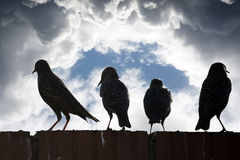 Silhouette of starlings on a wall Royalty Free Stock Images