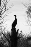 Silhouette of a stork. Sitting in a tree Royalty Free Stock Photo