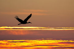 Silhouette of stork flying at sunset Stock Image