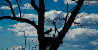 Silhouette of stork Stock Photo